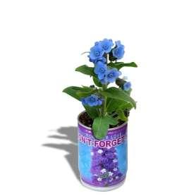Plante don't forget me en canette à fleurs bleues